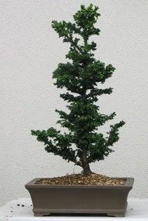 Çam ağacı bonsai bitkisi satışı  Konya anneler günü çiçek yolla