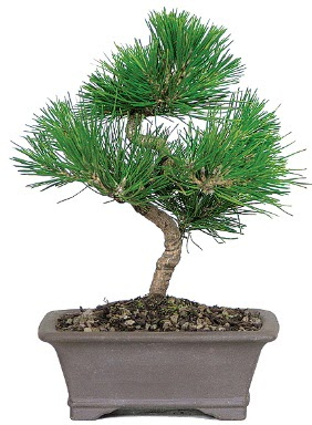 Çam ağacı bonsai japon ağacı bitkisi  Konya 14 şubat sevgililer günü çiçek