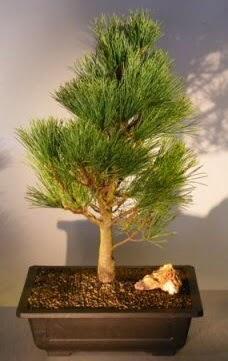 Çam ağacı japon ağacı bitkisi bonsai  Konya anneler günü çiçek yolla