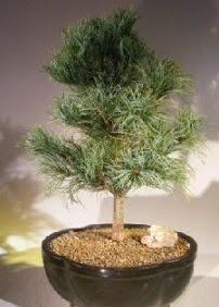 Çam ağacı bonsai bitkisi satışı  Konya çiçek servisi , çiçekçi adresleri