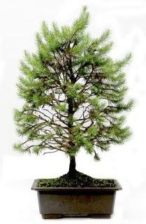 *** STOKTA YOK - Çam ağacı bonsai bitkisi satışı  Konya çiçek gönderme
