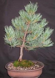 Bonsai çam ağacı japon ağacı bitkisi  Konya güvenli kaliteli hızlı çiçek
