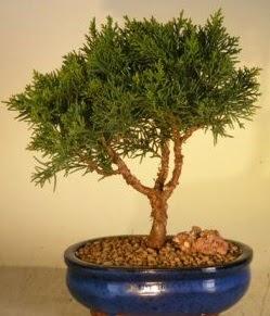 Servi çam bonsai japon ağacı bitkisi  Konya uluslararası çiçek gönderme