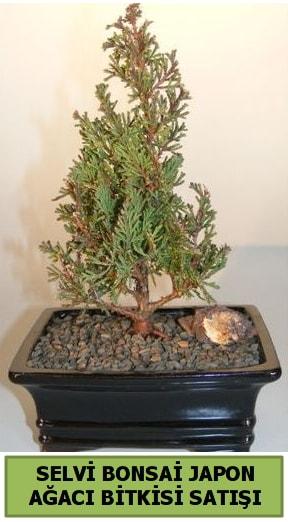 Selvi çam japon ağacı bitkisi bonsai  Konya anneler günü çiçek yolla