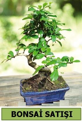 Çam bonsai japon ağacı satışı  Konya hediye sevgilime hediye çiçek