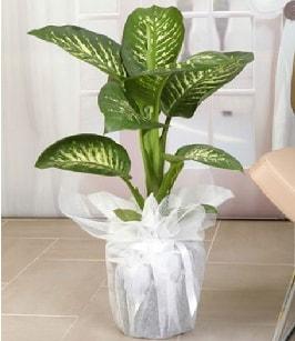 Tropik saksı çiçeği bitkisi  Konya hediye sevgilime hediye çiçek