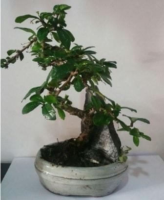 S şeklinde ithal bonsai ağacı  Konya uluslararası çiçek gönderme