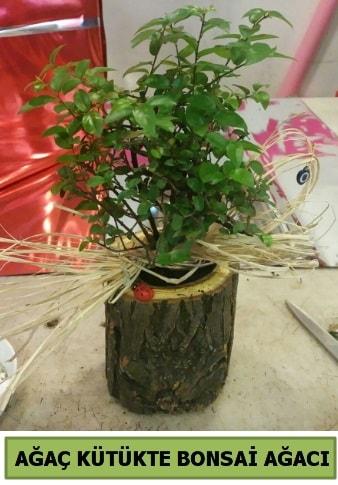 Doğal ağaç kütük içerisinde bonsai ağacı  Konya cicekciler , cicek siparisi