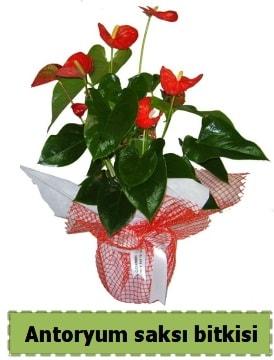Antoryum saksı bitkisi satışı  Konya çiçek online çiçek siparişi
