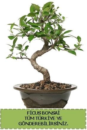 Ficus bonsai  Konya cicekciler , cicek siparisi