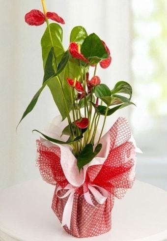 Anthurium Saksı Çiçeği  Konya çiçek mağazası , çiçekçi adresleri