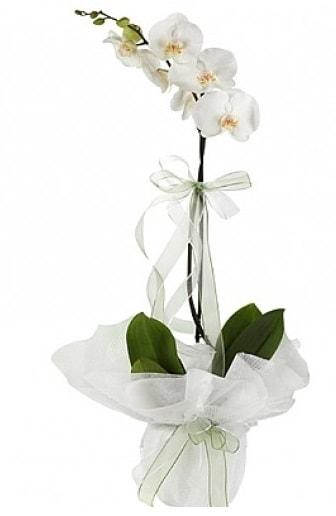 Tekli Beyaz Orkide  Konya çiçek mağazası , çiçekçi adresleri