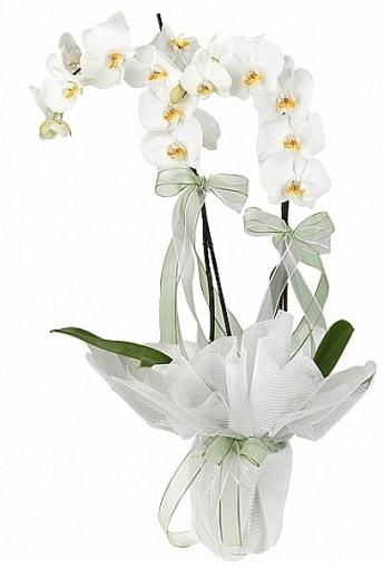 Çift Dallı Beyaz Orkide  Konya çiçek , çiçekçi , çiçekçilik