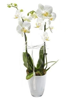 2 dallı beyaz seramik beyaz orkide saksısı  Konya cicekciler , cicek siparisi