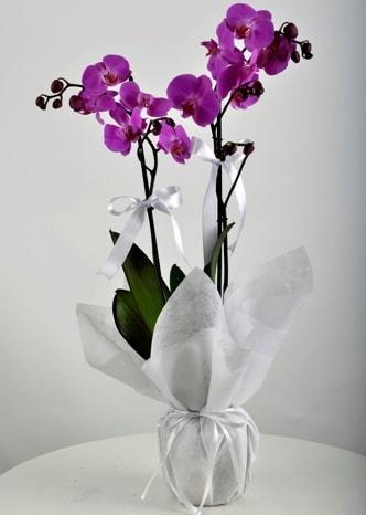 Çift dallı saksıda mor orkide çiçeği  Konya İnternetten çiçek siparişi