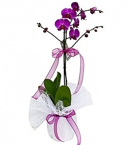 Tek dallı saksıda ithal mor orkide çiçeği  Konya online çiçekçi , çiçek siparişi