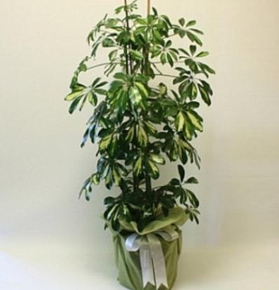 Şeflera salon bitkisi  Konya 14 şubat sevgililer günü çiçek