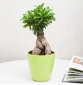Ficus Ginseng Bonsai  Konya çiçek satışı