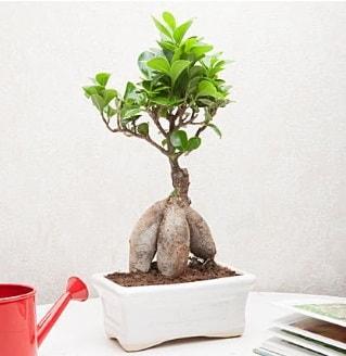 Exotic Ficus Bonsai ginseng  Konya çiçekçi mağazası