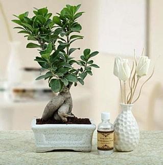 Ginseng ficus bonsai  Konya online çiçekçi , çiçek siparişi