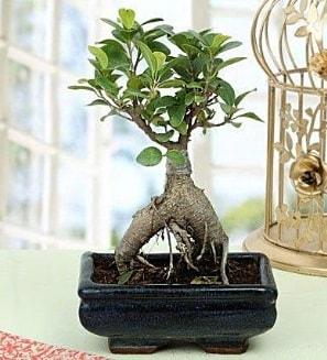 Appealing Ficus Ginseng Bonsai  Konya çiçek , çiçekçi , çiçekçilik