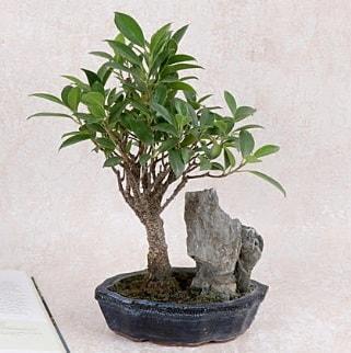 Japon ağacı Evergreen Ficus Bonsai  Konya cicekciler , cicek siparisi