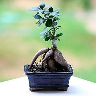 Marvellous Ficus Microcarpa ginseng bonsai  Konya İnternetten çiçek siparişi