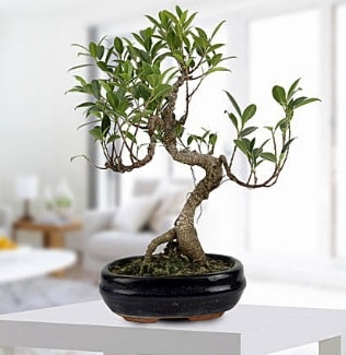 Gorgeous Ficus S shaped japon bonsai  Konya internetten çiçek siparişi