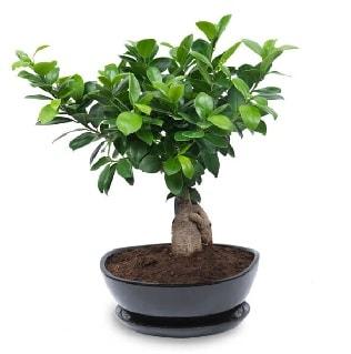 Ginseng bonsai ağacı özel ithal ürün  Konya yurtiçi ve yurtdışı çiçek siparişi