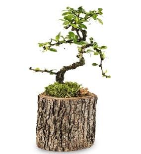 Doğal kütükte S bonsai ağacı  Konya hediye sevgilime hediye çiçek