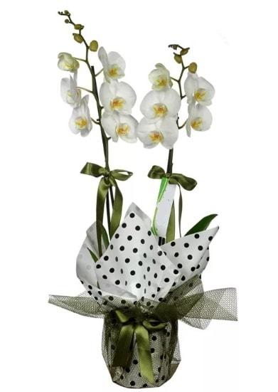Çift Dallı Beyaz Orkide  Konya çiçek satışı