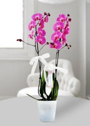 Çift dallı mor orkide  Konya online çiçekçi , çiçek siparişi