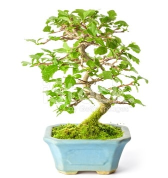 S zerkova bonsai kısa süreliğine  Konya cicek , cicekci