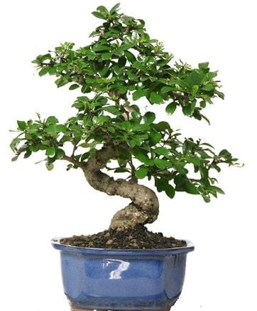 21 ile 25 cm arası özel S bonsai japon ağacı  Konya anneler günü çiçek yolla