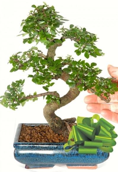 Yaklaşık 25 cm boyutlarında S bonsai  Konya güvenli kaliteli hızlı çiçek