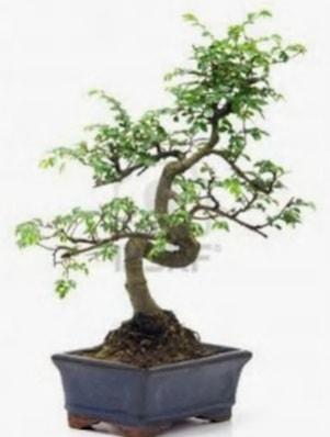 S gövde bonsai minyatür ağaç japon ağacı  Konya hediye sevgilime hediye çiçek
