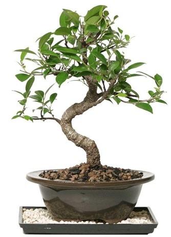 Altın kalite Ficus S bonsai  Konya anneler günü çiçek yolla  Süper Kalite