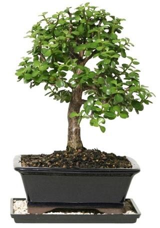 15 cm civarı Zerkova bonsai bitkisi  Konya güvenli kaliteli hızlı çiçek