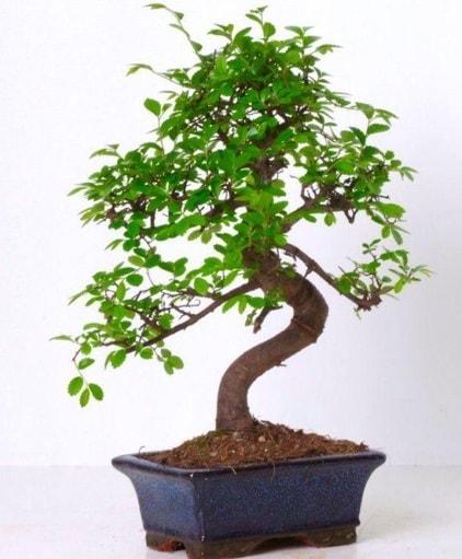 S gövdeli bonsai minyatür ağaç japon ağacı  Konya cicekciler , cicek siparisi