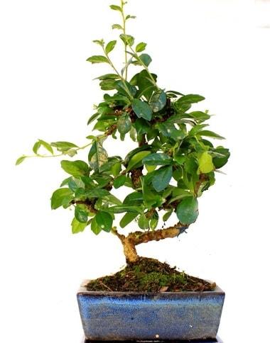 S gövdeli carmina bonsai ağacı  Konya uluslararası çiçek gönderme  Minyatür ağaç