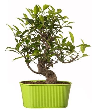 Ficus S gövdeli muhteşem bonsai  Konya güvenli kaliteli hızlı çiçek