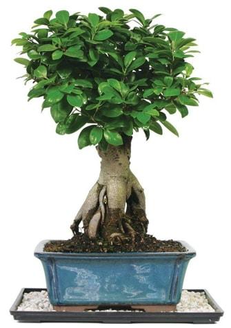 Bonsai Ginsing Grafted Ficus Bonsai  Konya uluslararası çiçek gönderme