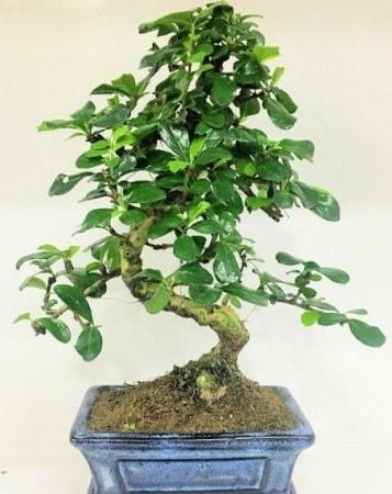 Zelkova S gövdeli Minyatür ağaç Bonzai  Konya 14 şubat sevgililer günü çiçek