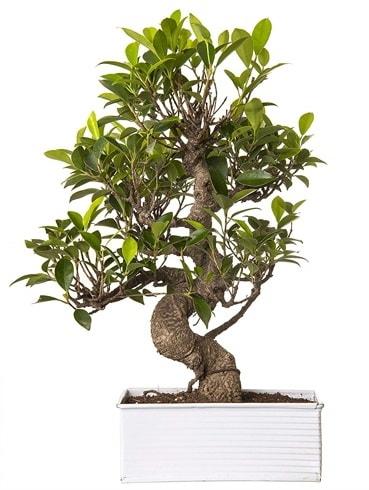 Exotic Green S Gövde 6 Year Ficus Bonsai  Konya cicekciler , cicek siparisi
