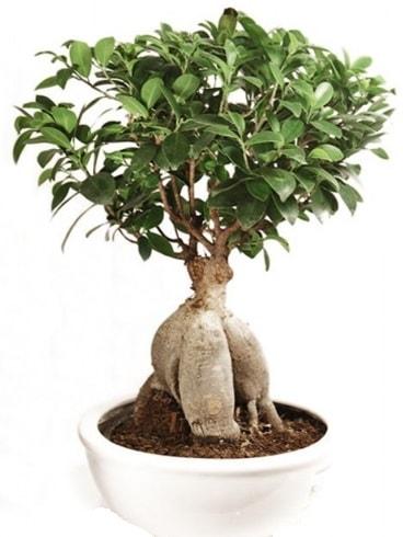 Ginseng bonsai japon ağacı ficus ginseng  Konya cicek , cicekci